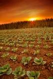 Kohlfeld in der Sonnenuntergangstimmung Stockfotos