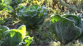 Kohlgemüsebett mit erstem Herbstfrost im Garten 4K stock footage