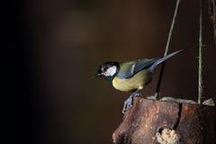 Kohlmeise auf einer Vogelzufuhr Lizenzfreies Stockfoto