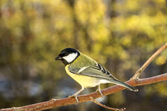 Kohlmeise (Parus major) Royalty Free Stock Photography