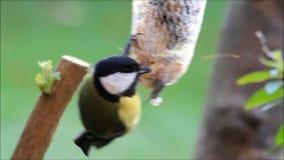 Kohlmeise (Parusmajor), einziehendes fettes Vogelfutter im Winter stock footage