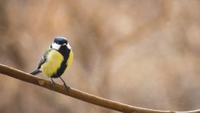 Kohlmeisevogel gehockt auf einer Niederlassung Lizenzfreie Stockfotografie