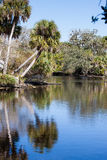Kohlpalmen reflektieren sich in Myakka-Fluss in FL Stockbild
