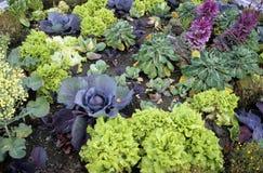 Kohlpflanzen Stockbild