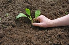 Kohlpflanzen stockbilder