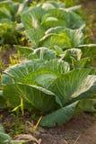 Kohlpflanzen Lizenzfreie Stockfotografie