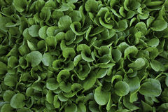 Kohlpflanzen Lizenzfreies Stockfoto