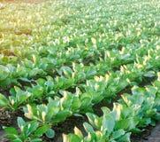 Kohlplantagen wachsen auf dem Gebiet Gem?sereihen Landwirtschaft, Landwirtschaft Landschaft mit Ackerland getreide lizenzfreies stockbild
