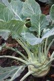 Kohlrabi. Growing in the soil Stock Image