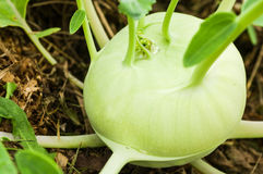 Kohlrabi Stock Photos