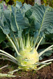 Kohlrabi in the garden Royalty Free Stock Image