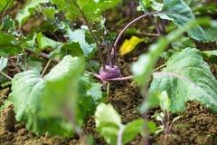 Kohlrabi in the garden Stock Photos