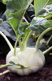 Kohlrabi on the garden bed Royalty Free Stock Photo