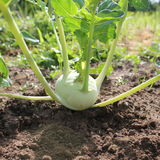 kohlrabi growing in the garden Stock Photography