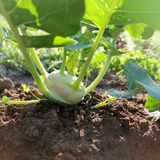 Kohlrabi growing in the garden Stock Image