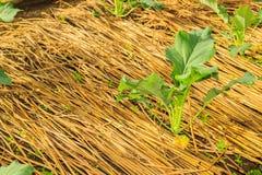Kohlrabi  growing in home vegetable garden. Stock Photo