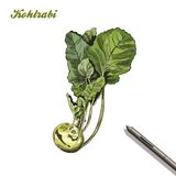 Kohlrabi. harvesting. colored illustration made by hand. Royalty Free Stock Image
