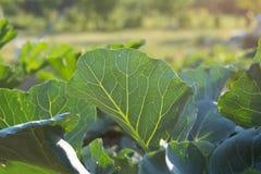 Kohlrabi leafs Stock Photo