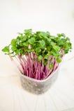 Kohlrabi seedlings Royalty Free Stock Images