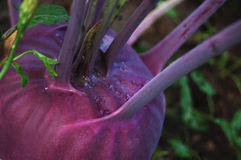 Kohlrabi in summer Royalty Free Stock Photography