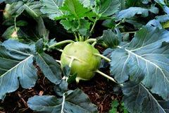 Kohlrabi, Turnip Rooted Cabbage Stock Photos