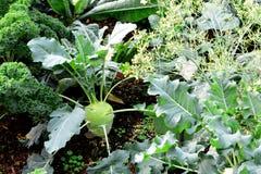 Kohlrabi, Turnip Rooted Cabbage Stock Photography