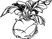 Kohlrabi. Vector illustration royalty free illustration
