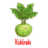 Kohlrabi vegetable with green leaves sketch Stock Photo