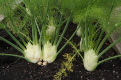 Kohlrabi vegetables growing in plot. White head with green vegetation in black soil Stock Photos