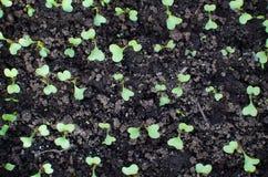 Kohlsämling auf Gemüseanlage Früher Frühling Lizenzfreie Stockfotografie