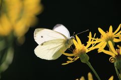 Kohlschmetterling, Löwenzahn, piris rapae, kleines Weiß auf gelber Blume lizenzfreies stockbild