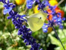 Kohlweißbasisrecheneinheit auf einer Blume Lizenzfreie Stockfotos