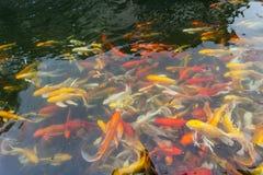 Koi在池塘 免版税图库摄影
