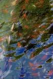 Koi在水中 免版税库存图片