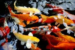 Koi在水池的鱼游泳 免版税库存图片