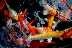Koi在水池的鱼游泳 图库摄影