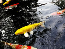 Koi好运的鱼标志 库存图片