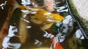 Koi或鲤鱼日本鱼在池塘 股票录像