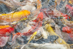Koi日本人鲤鱼 免版税库存图片