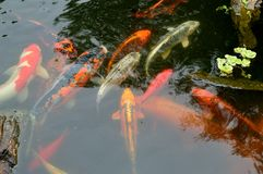 Koi有岩石和植物的鲤鱼池塘 免版税库存照片