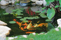 Koi池塘在春天 图库摄影