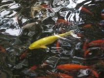 Koi池塘日本人庭院 免版税库存照片