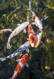 Koi池塘 免版税图库摄影