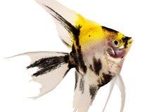 Koi神仙鱼pterophyllum scalare在白色隔绝的水族馆鱼 免版税库存图片