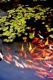 koi莲花许多筑成池塘 库存图片