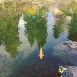 Koi鱼在与树反射的镇静水中 库存图片