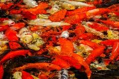 koi鱼在池塘,数字照片图片作为背景 免版税库存图片