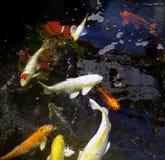 Koi鱼在池塘 免版税库存图片