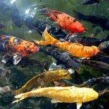 Koi鱼在池塘 库存图片