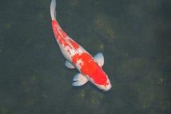 Koi鱼在池塘 免版税库存照片